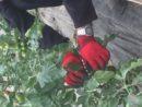 tomates bio dinan